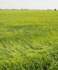 variedades maiz