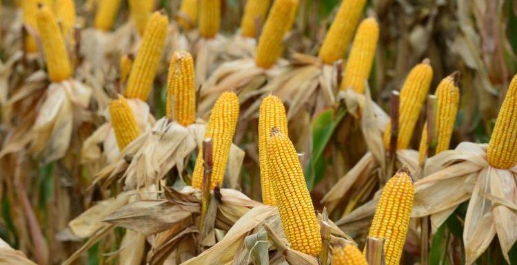 lote maiz
