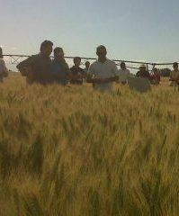 lote trigo